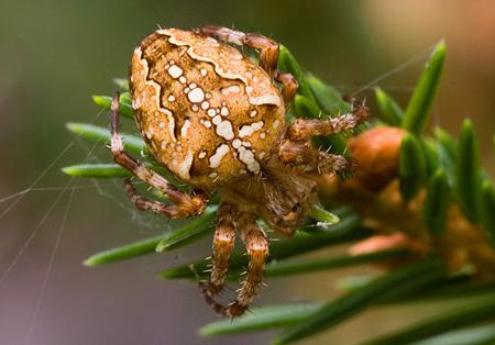 norge stor edderkopp