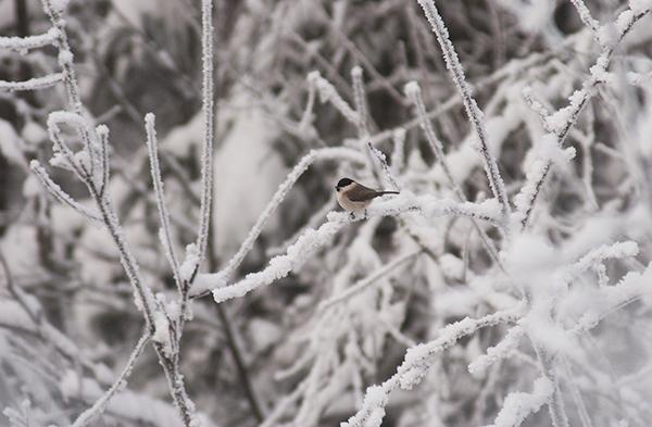 Løvmeis i vinterland