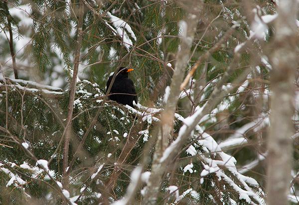 svarttrost hann
