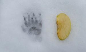 spor i snøen etter snømus